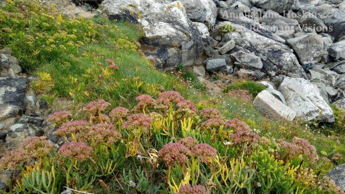 Sedum taking natural advantage of rocky grass land