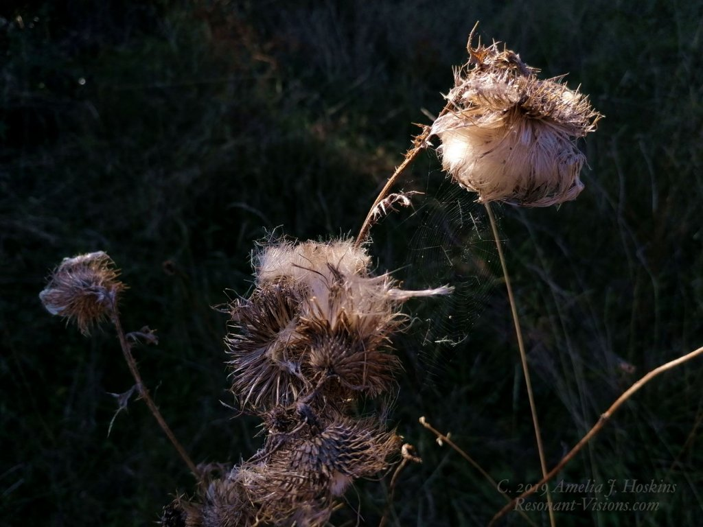 Fluffy seed heads with spider web between